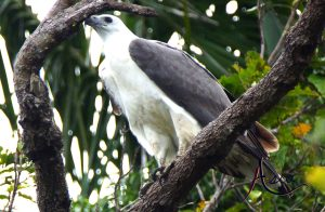 indonesia-charter-yacht-grey-backed-fish-eagle