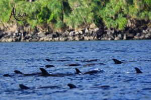 indonesia-charter-yacht-pilot-whales-banda-2