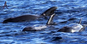 indonesia-yacht-charter-pilot-whales-banda