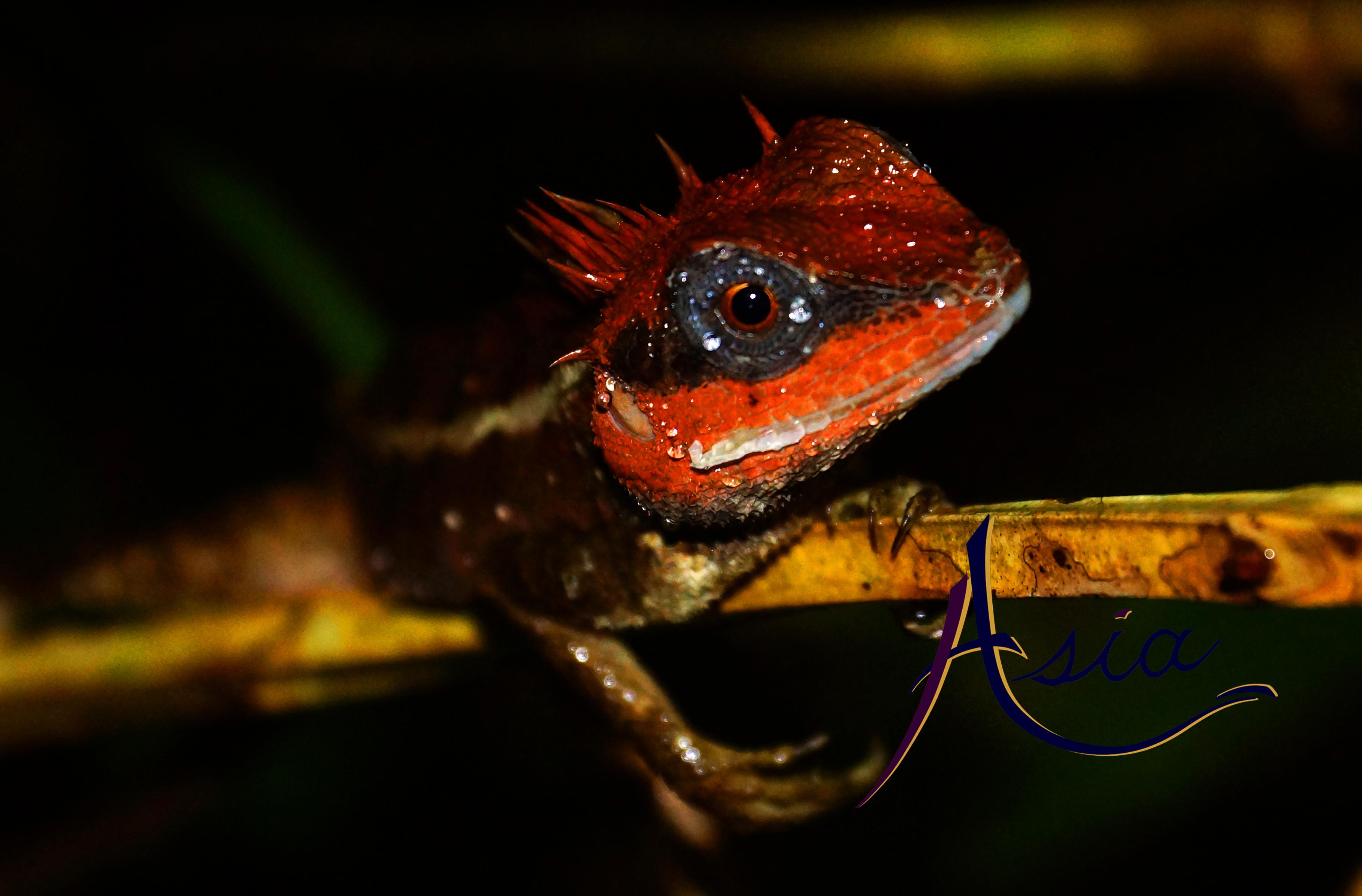 Exotic species of lizard, Mergui Archipelago, Myanmar.