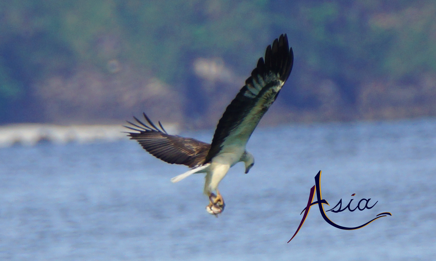 White bellied Sea Eagle catches lunch, Cruise in the Mergui Archipelago, Myanmar
