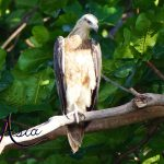 fish-eagle-komodo-indonesia-charter