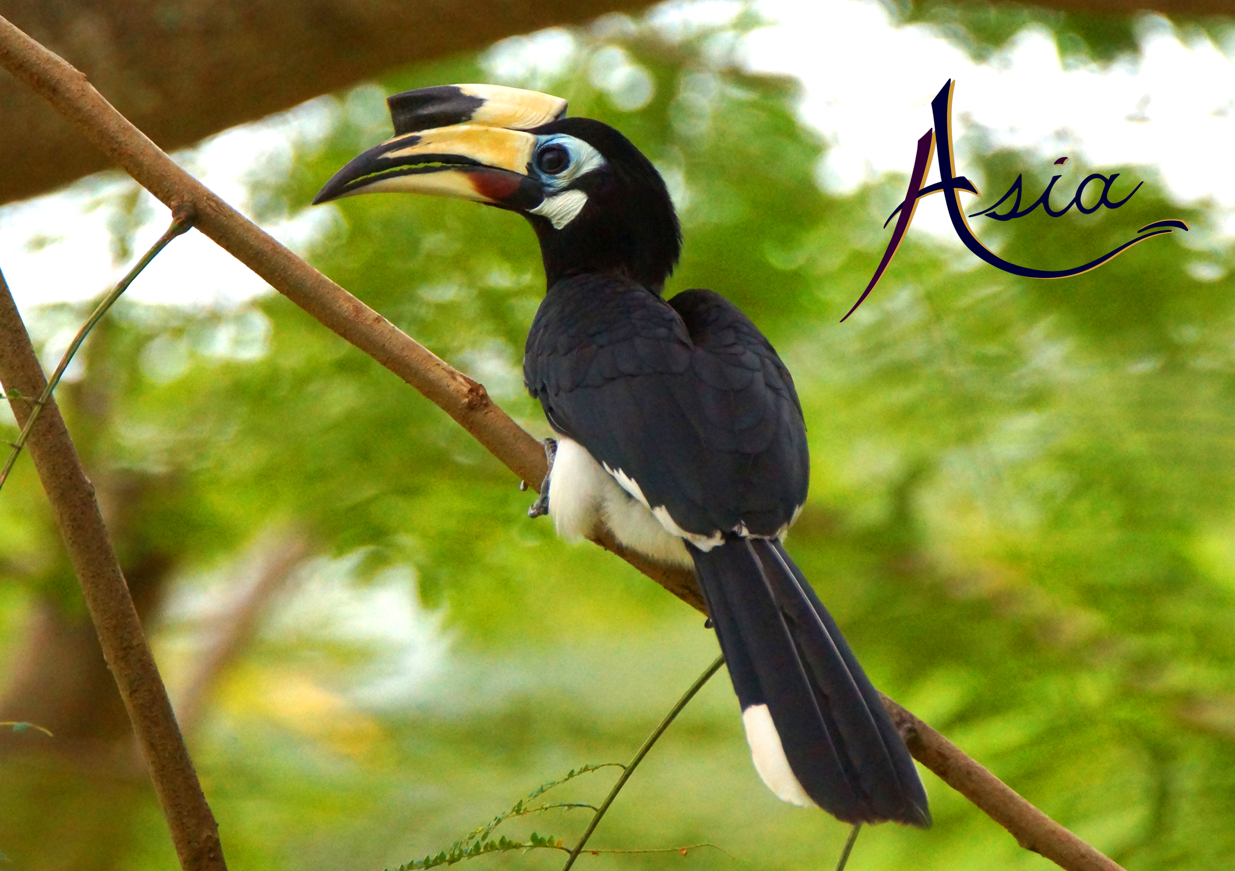Hornbill, Langkawi, Malaysia.