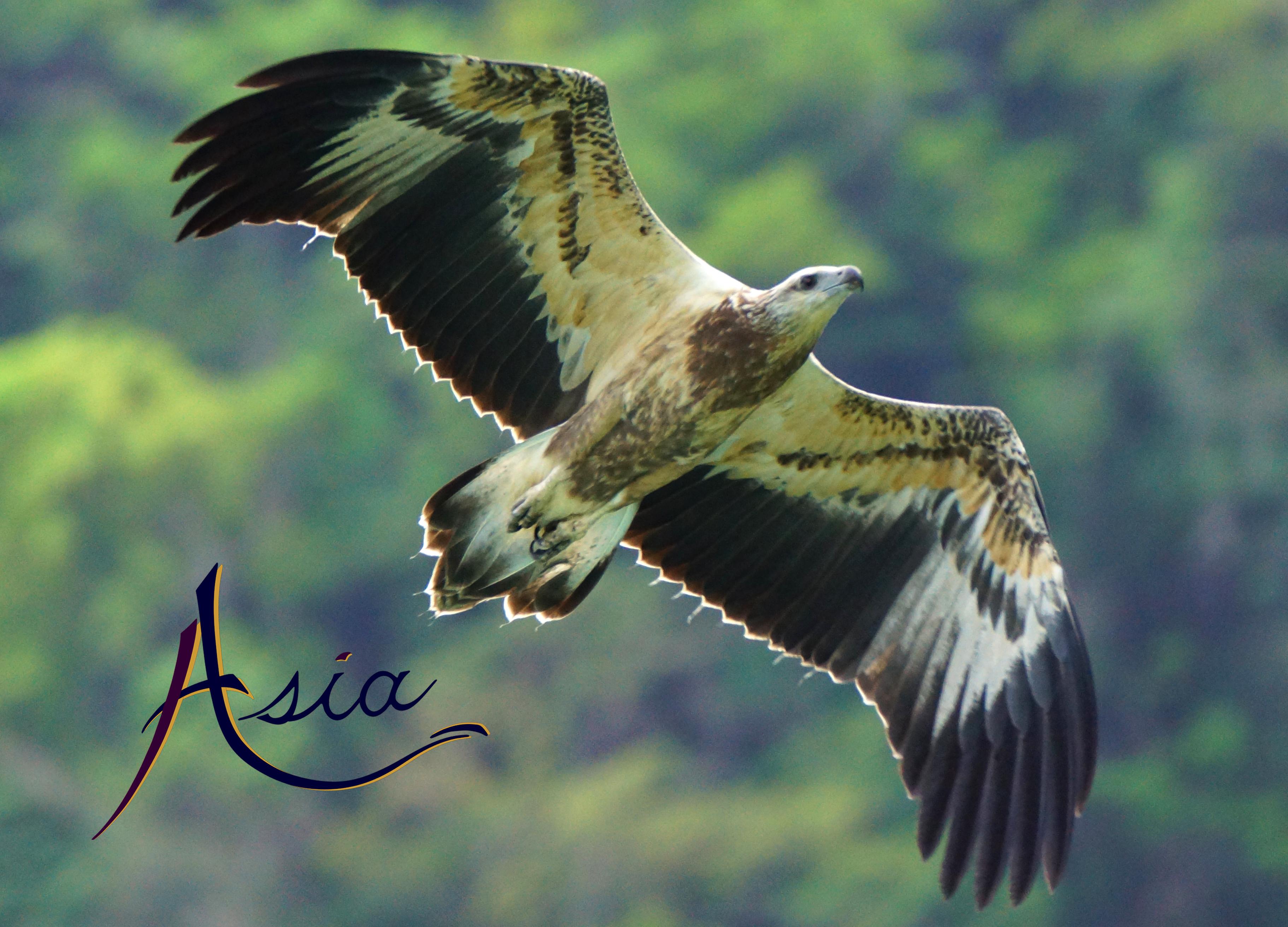 Juvenile fish eagle, Mergui Archipelago, Burma.