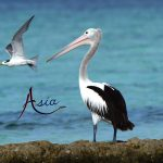 pelican-forgotten-islands-indonesia